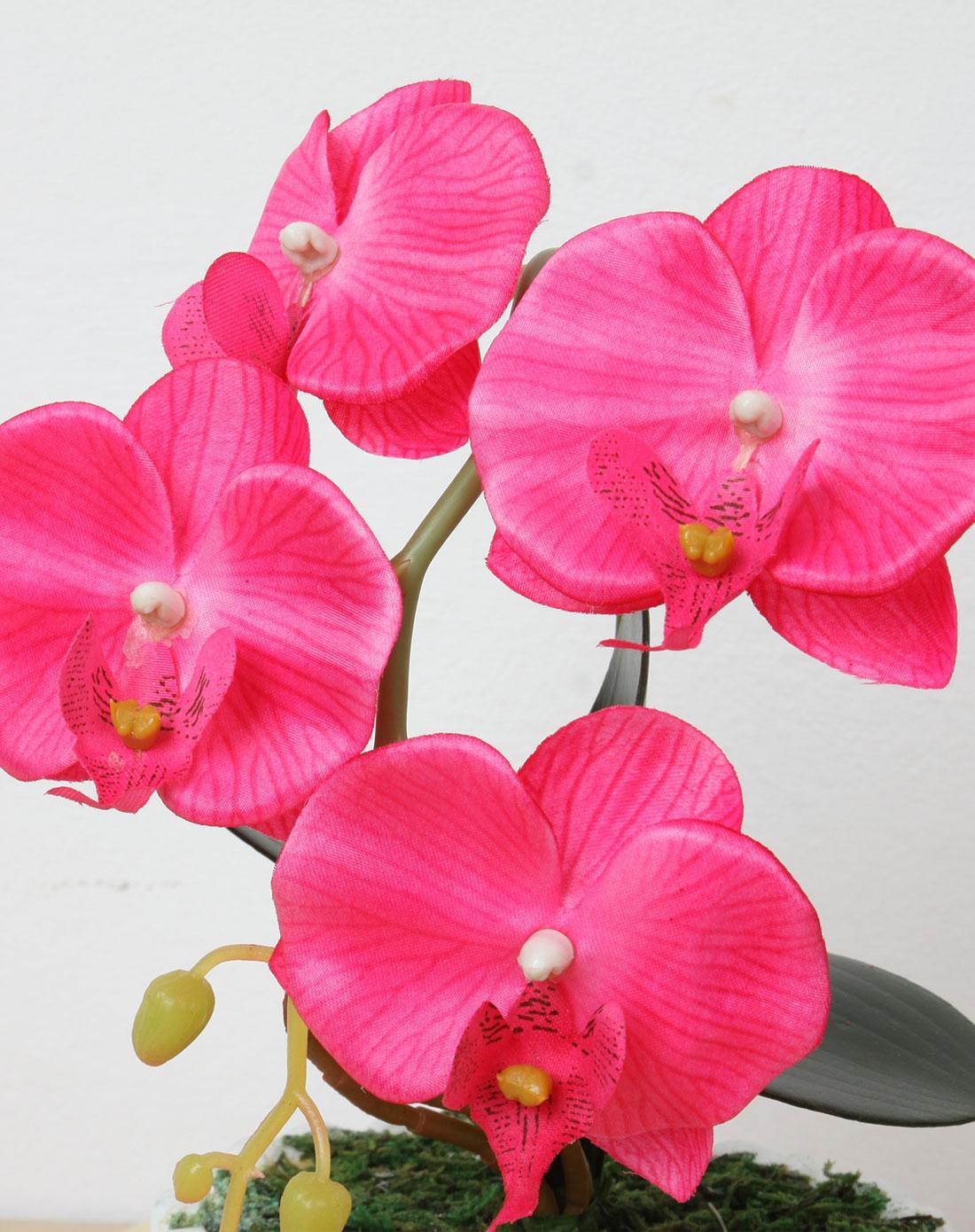 > 小蝴蝶兰盆栽-玫红色花