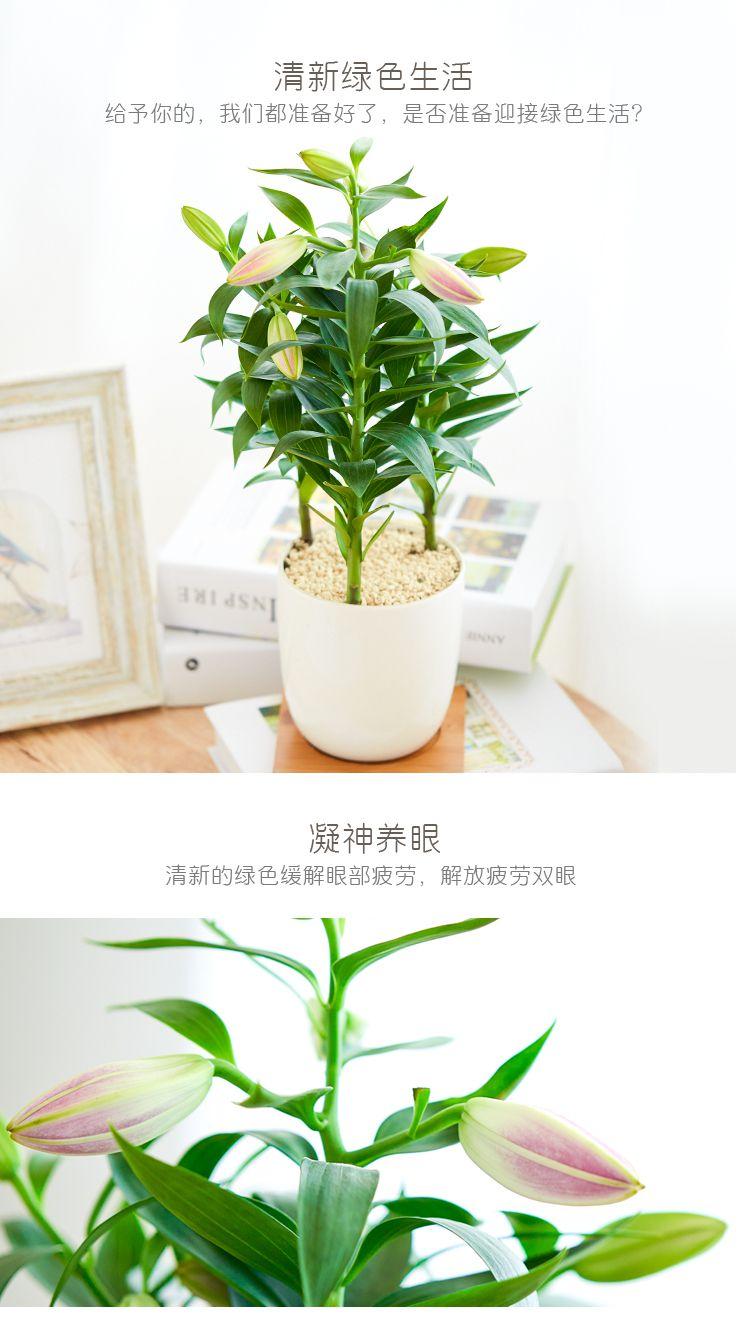 白百合 时尚白瓷 带盆栽好发货